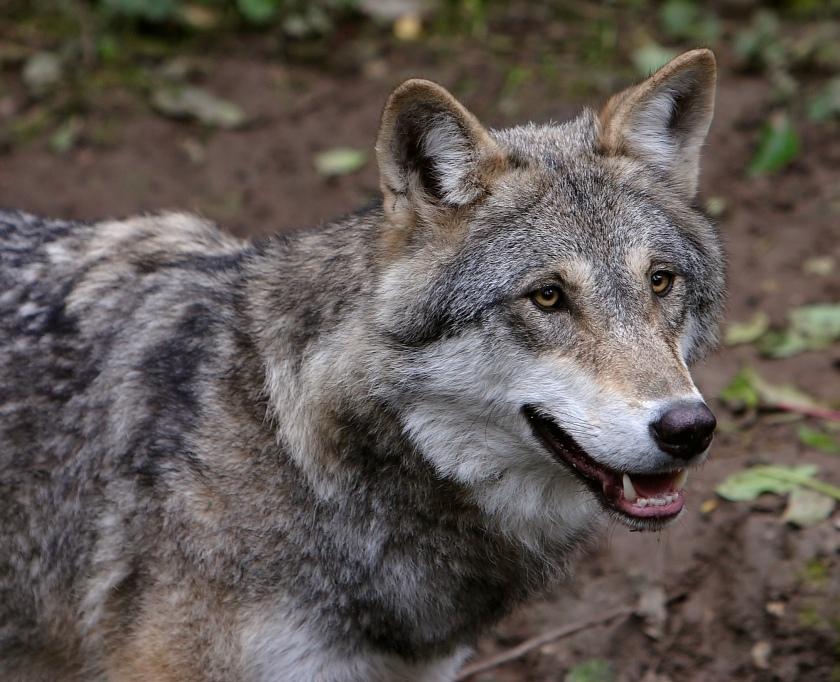 Wolf_je1-3.jpg