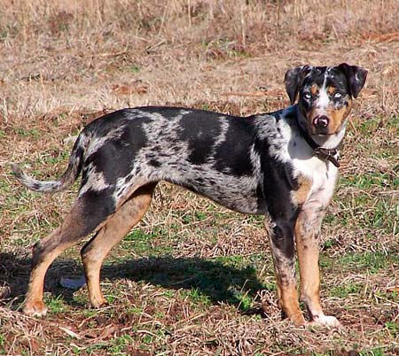 ... and originated from the Catahoula Lake region in central Louisiana