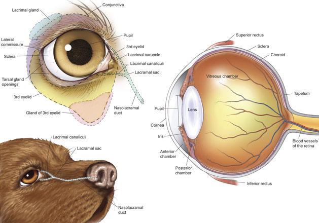 eye proptosis in dogs barkuptoday. Black Bedroom Furniture Sets. Home Design Ideas