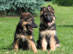 000082_wp_german-shepherd-puppies_lg