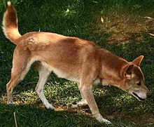 220px-New_Guinea_Singing_Dog_on_trail-Cropped