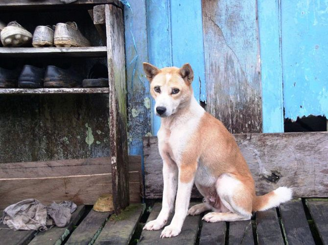 800px-Borneo_dog