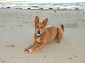 carolina-dog-on-beach-wallpaper