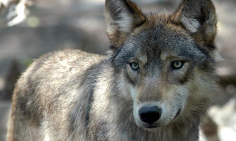 gray wolf species