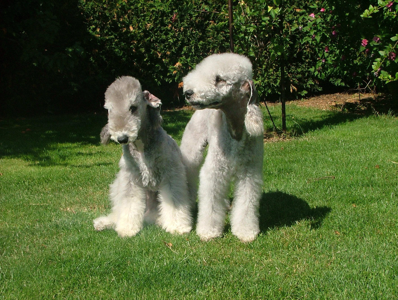 Description breed bedlington terrier. Bedlington Terrier: nature, features, photos 70