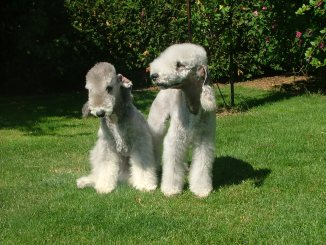 Bedlington_terrier