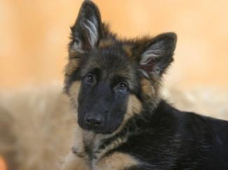 petra-wegner-domestic-dog-german-shepherd-alsatian-juvenile-5-months-old_i-G-37-3782-GL7IF00Z-1