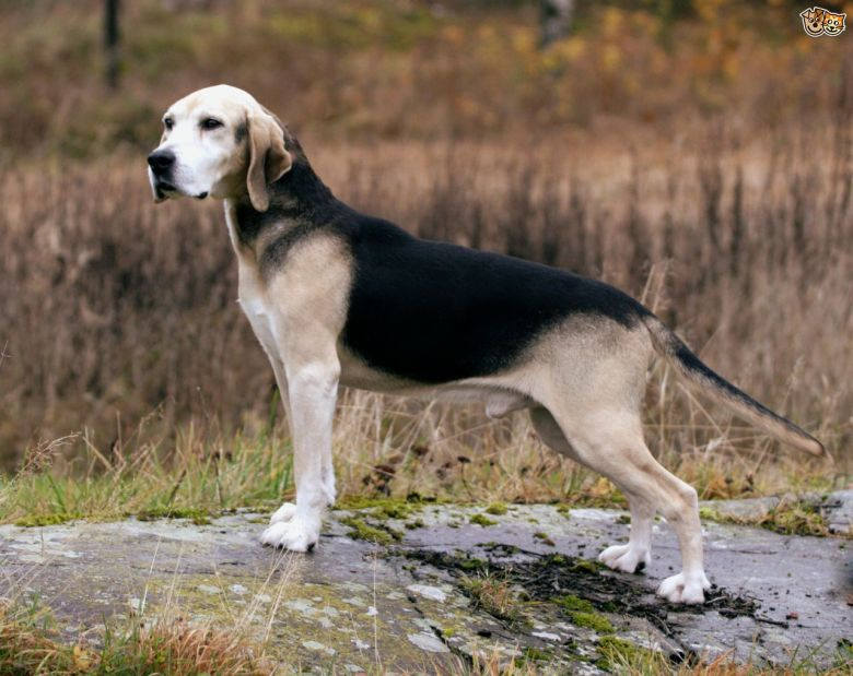 what-is-a-norwegian-dunker-dog-5915a730b3d26.jpg