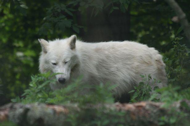 Arctic_Wolf_2.jpg