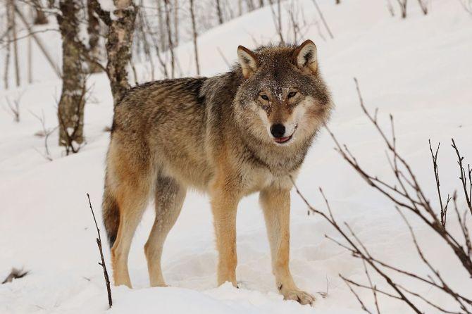 Eurasian_wolf.JPG