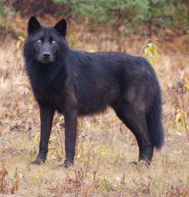 Wolf_Lower_Post_Indian_Reserve.jpg